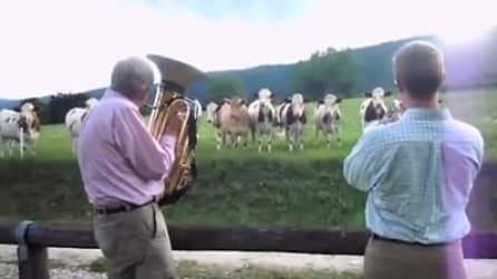Suonano tromba e trombone davanti alle mucche: gli animali reagiscono in modo incredibile