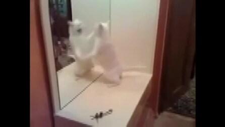 Ecco il gatto che combatte contro la sua immagine riflessa