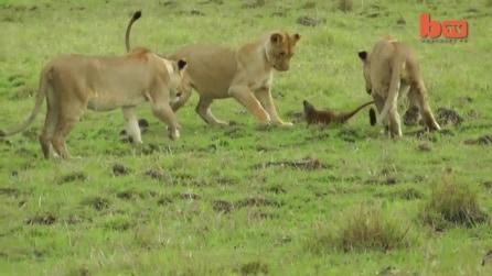Una mangusta molto arrabbiata mette in fuga tre leoni