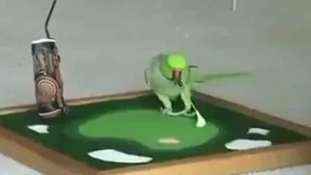 Il pappagallo talentuoso: recita e gioca a golf