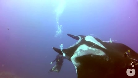 Costa Rica, la manta cerca l'aiuto del sub per liberarsi dalla lenza