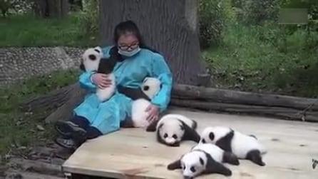 Cina, 5 cuccioli di panda giocano con il loro custode