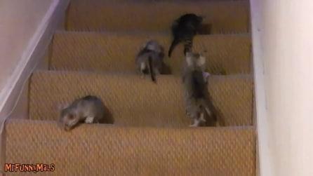 Ecco come un gatto impara a scendere le scale