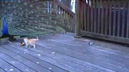 Adorabili gattini giocano con il pavone per la prima volta