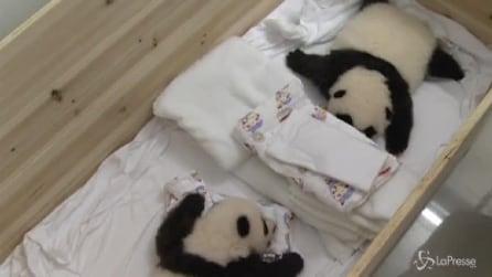 Tre gemellini di panda compiono 2 mesi di vita ed entrano nella storia