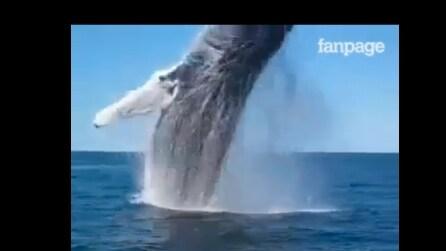 La balena si mostra così: un tuffo improvviso