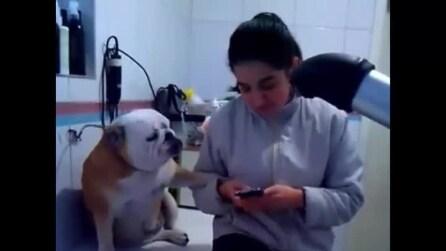 Il bulldog in cerca di attenzioni e carezze