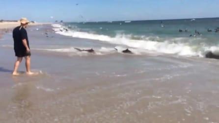 North Carolina, gli squali si spingono fino a riva per mangiare