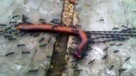 Il perfetto lavoro di squadra delle formiche: trasportano così un lungo verme