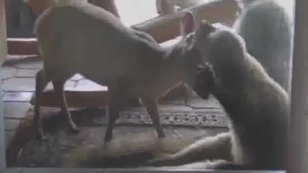 Lemure geloso non sopporta le attenzioni del cerbiatto