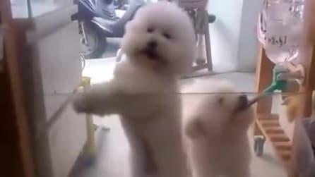 Due teneri Bichon Frise ballano a ritmo di musica