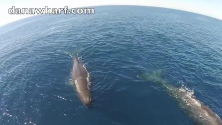 La spettacolare nuotata delle balene ripresa dall'alto da un drone