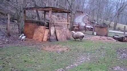 La capretta che gioca a nascondino con un cane, non è adorabile?