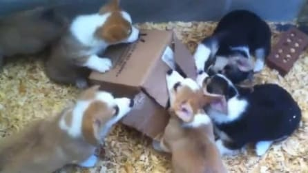 Cuccioli di cane si contendono una scatola per gioco