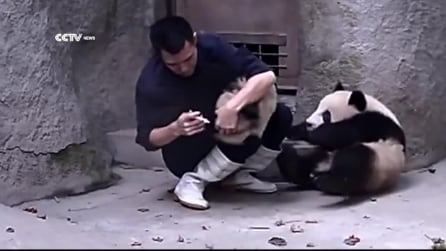 Anche i panda fanno i capricci quando devono prendere le medicine