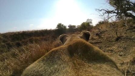 Sud Africa, la caccia della leonessa in soggettiva