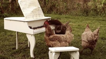 La gallina che suona il pianoforte