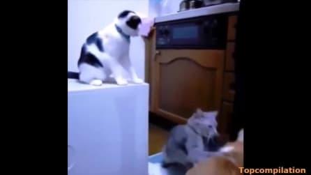 Gli tirano la coda e se la prende con il gatto sbagliato