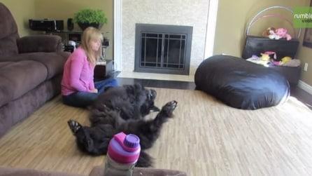 La sua padrona rifiuta di massaggiargli il pancino, ecco la reazione del Terranova giocherellone