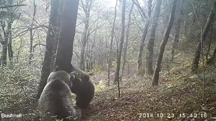 Trentino, mamma orso e il suo cucciolo avvistati sul Brenta meridionale