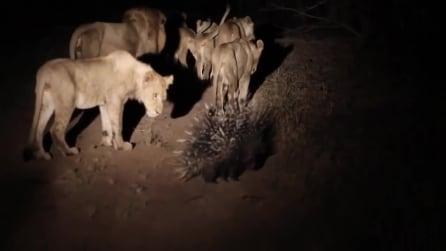 Istrice respinge l'attacco di ben 17 leoni affamate