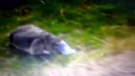 Tasmania, le rare immagini dell'ornitorinco