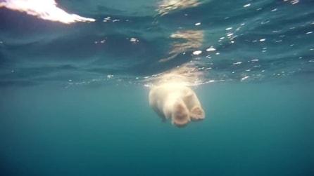 Come vive e come nuota un orso polare: fantastiche immagini in soggettiva