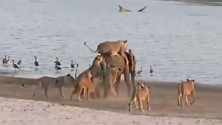 Zambia, elefantino respinge l'attacco famelico di 14 leoni
