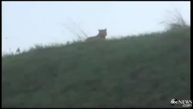 è Un Grosso Gatto Selvatico E Non Una Tigre Lanimale Che Terrorizza