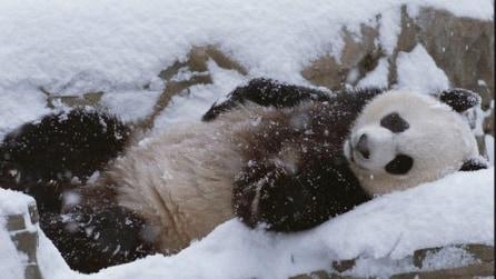 Canada, il panda gigante gioca e si diverte con la neve