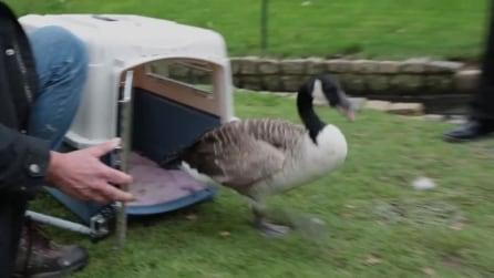 L'oca canadese con l'ala spezzata torna a volare