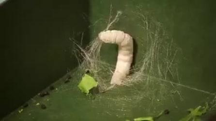 Ecco come il baco da seta costruisce il suo bozzolo