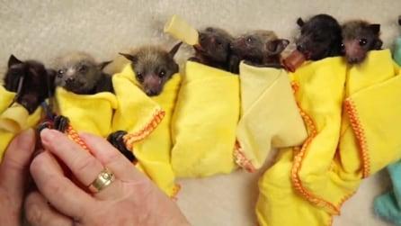Cuccioli di pipistrelli tratti in salvo