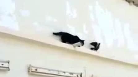 Il piccione è più astuto del gatto