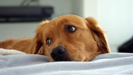 Il cane che non riesce a rinunciare al cibo durante un concorso