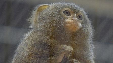 Uistitì pigmeo: la scimmia più piccola che c'è