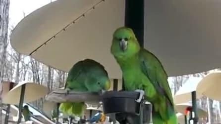 I due pappagalli imitano una discussione tra marito e moglie