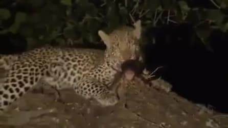 La natura è sorprendente: il leopardo si prende cura del cucciolo di babbuino rimasto orfano