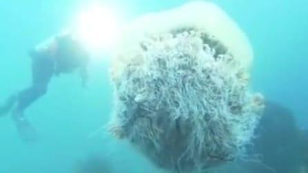 Giappone: filma la medusa di Nomura, una delle specie più grandi al mondo
