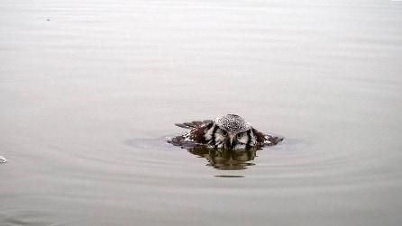 Non avete le allucinazioni: ecco un gufo che nuota nel lago