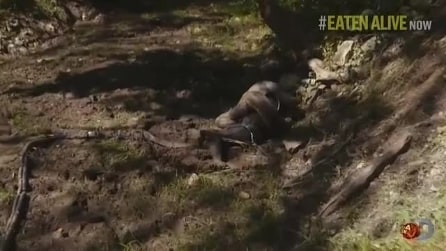 Mangiato vivo da un anaconda: Paul Rosolie stritolato, chiede aiuto
