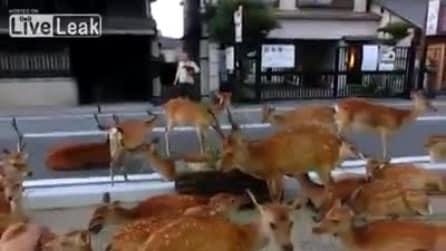 1000 cervi in libertà per le strade di Nara