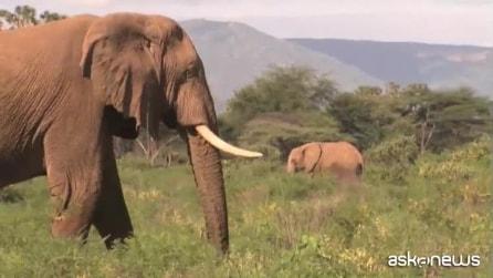 Cina, contrabbando di avorio fuori controllo: elefanti a rischio