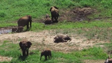 Pongola, un elefante dà alla luce due gemelli: si tratta di un evento raro