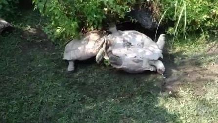 La tartaruga è capovolta e non riesce a raddrizzarsi: a salvarla arriva il compagno