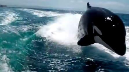 Orche all'inseguimento di un motoscafo, lo spettacolo è mozzafiato