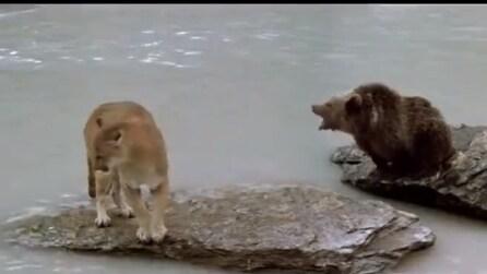 L'amore di papà orso verso la sua famiglia, il feroce puma scappa via