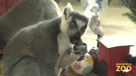 Brookfield Zoo, lemuri consumano la cena della vigilia di Natale