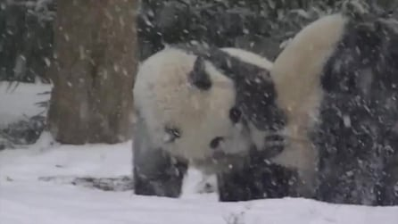 Washington, divertimento e capriole sulla neve per due panda Bao Bao