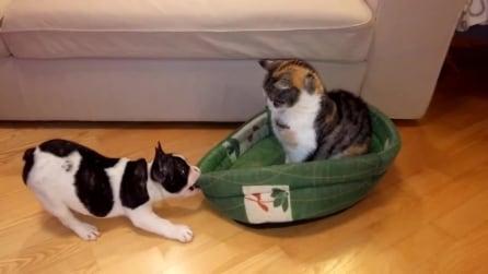 Cucciolo di bulldog reclama il suo letto: il gatto non si scompone